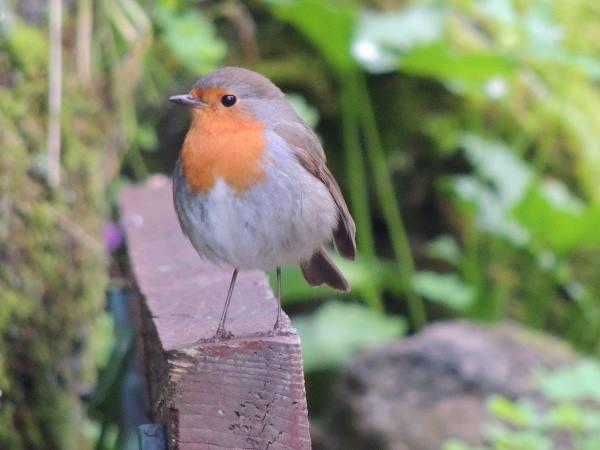 Ischia un upupa annuncia la primavera il dispari quotidiano - Primavera uccelli primavera colorazione pagine ...